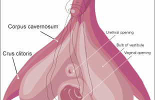 De clitoris, gegarandeerd orgasme